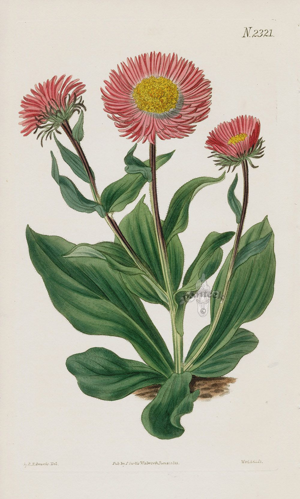 Aster from 1815 Curtis Botanical Magazine Red, Orange Highly Decorative Prints