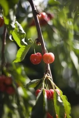 How To Grow A Cherry Tree In Southern California Ehow Miniature Fruit Trees Growing Cherry Trees Tree Pruning