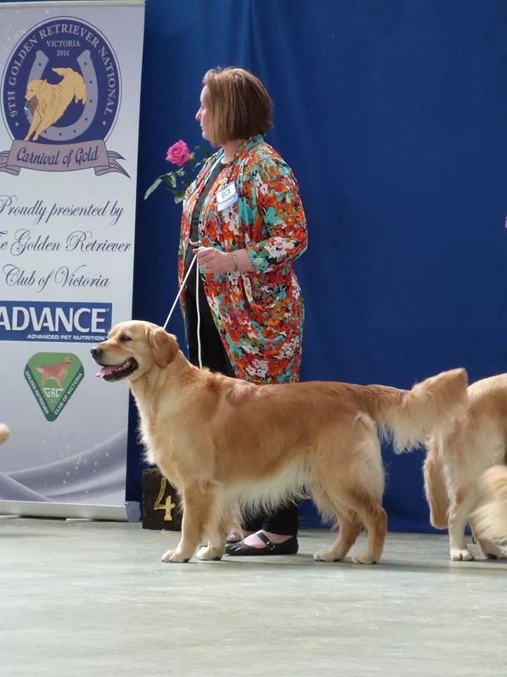 Rocky At The Goldenretriever National Dog Show 2014 At Kcc Park