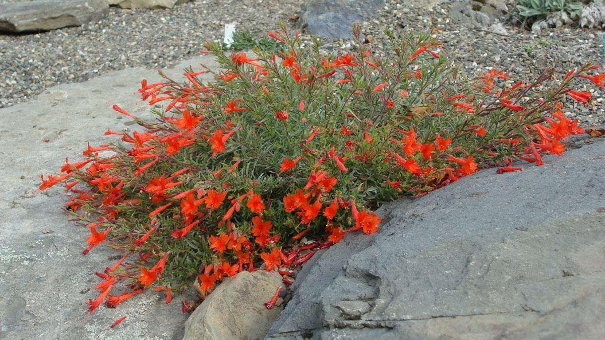 Zauschneria californica v etteri | North American Rock Garden ...
