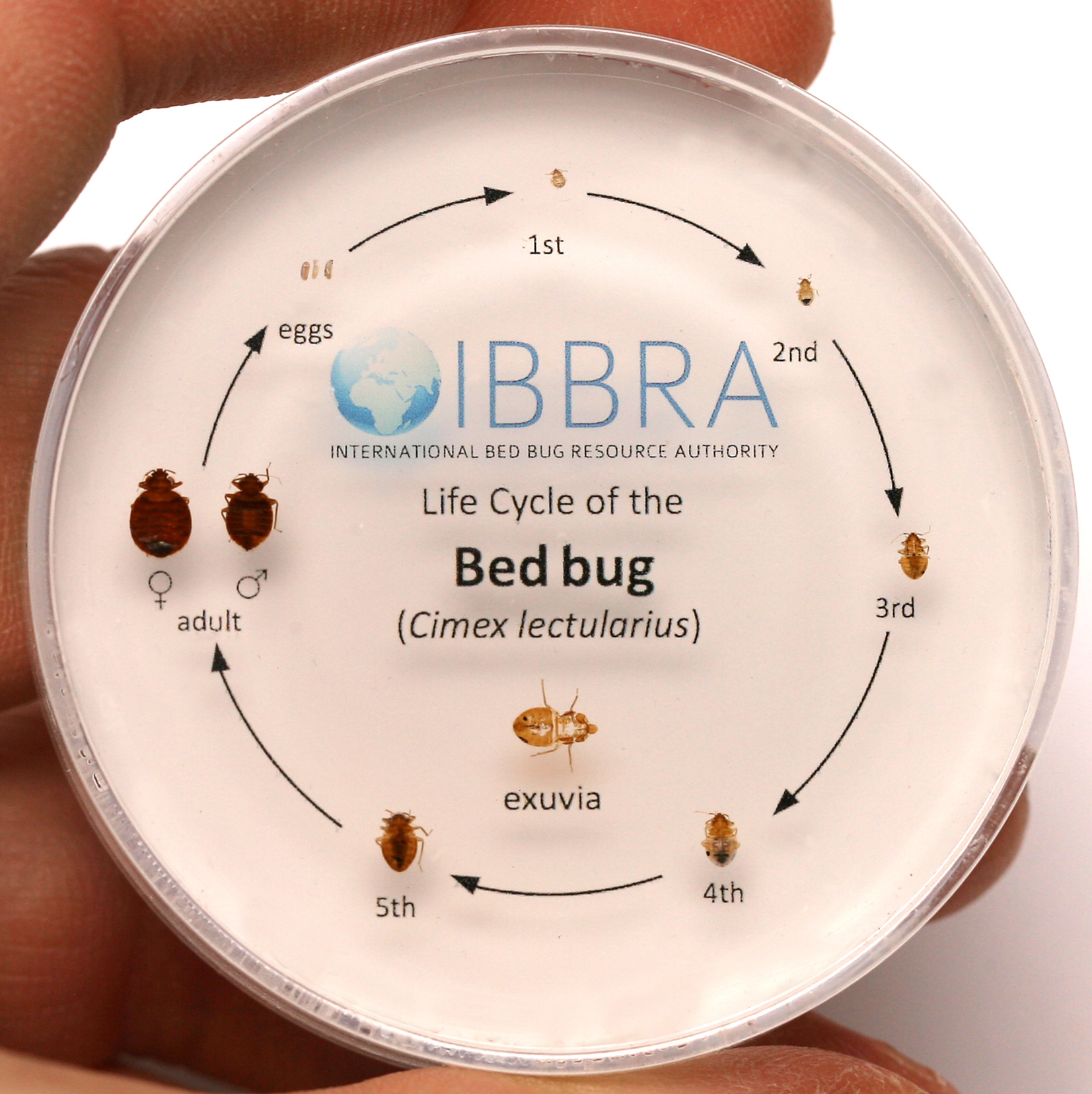Do you know about the life cycle of bed bugs? Here are