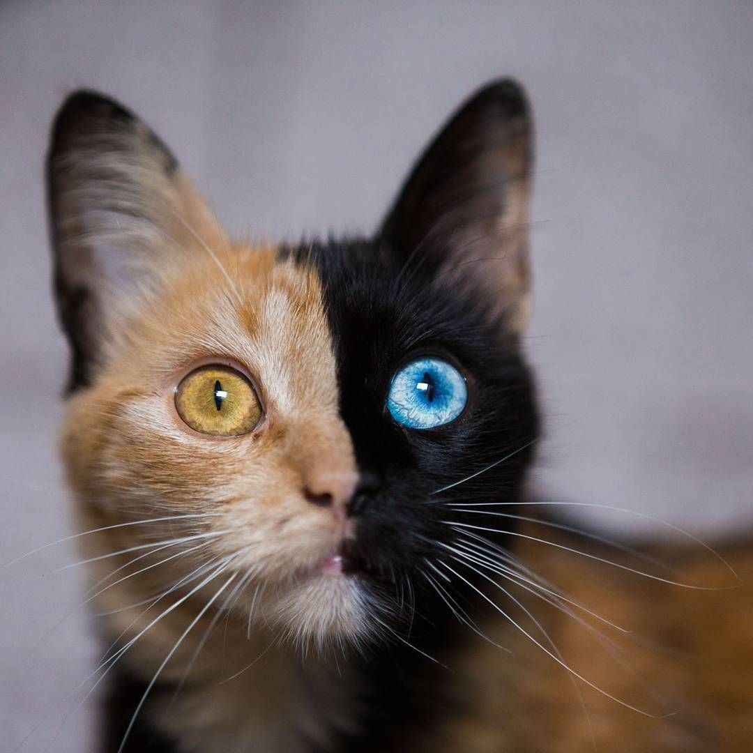 Is Quimera The Two Faced Cat The Most Beautiful Or The