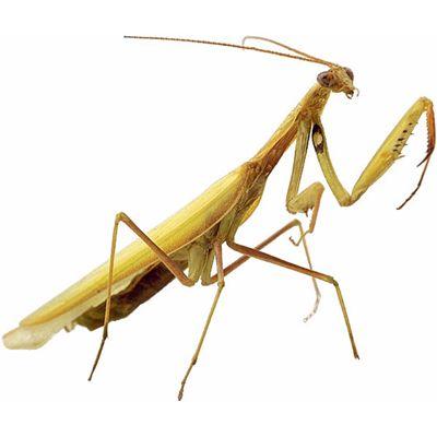 Image Of Praying Mantis Praying Mantis Pray What Is Pray