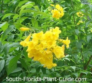 Yellow Elder flowers | Plants for South Florida | Pinterest | Yellow on florida native gardening, florida native vegetation water, florida native yellow flowers, florida native grasses, florida plants, florida trees flowering perennial for hummingbirds,
