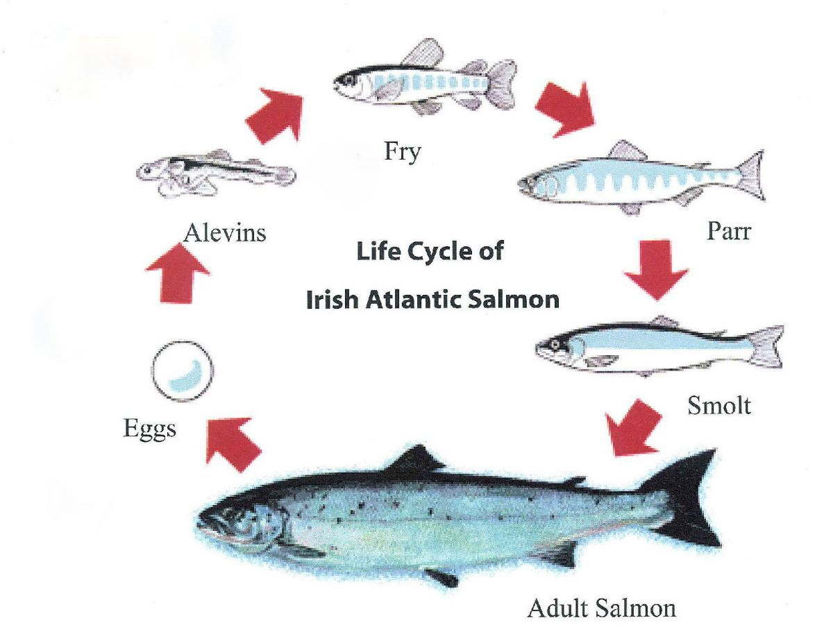 Salmon life cycle finished salmon life cycle for Fish life cycle