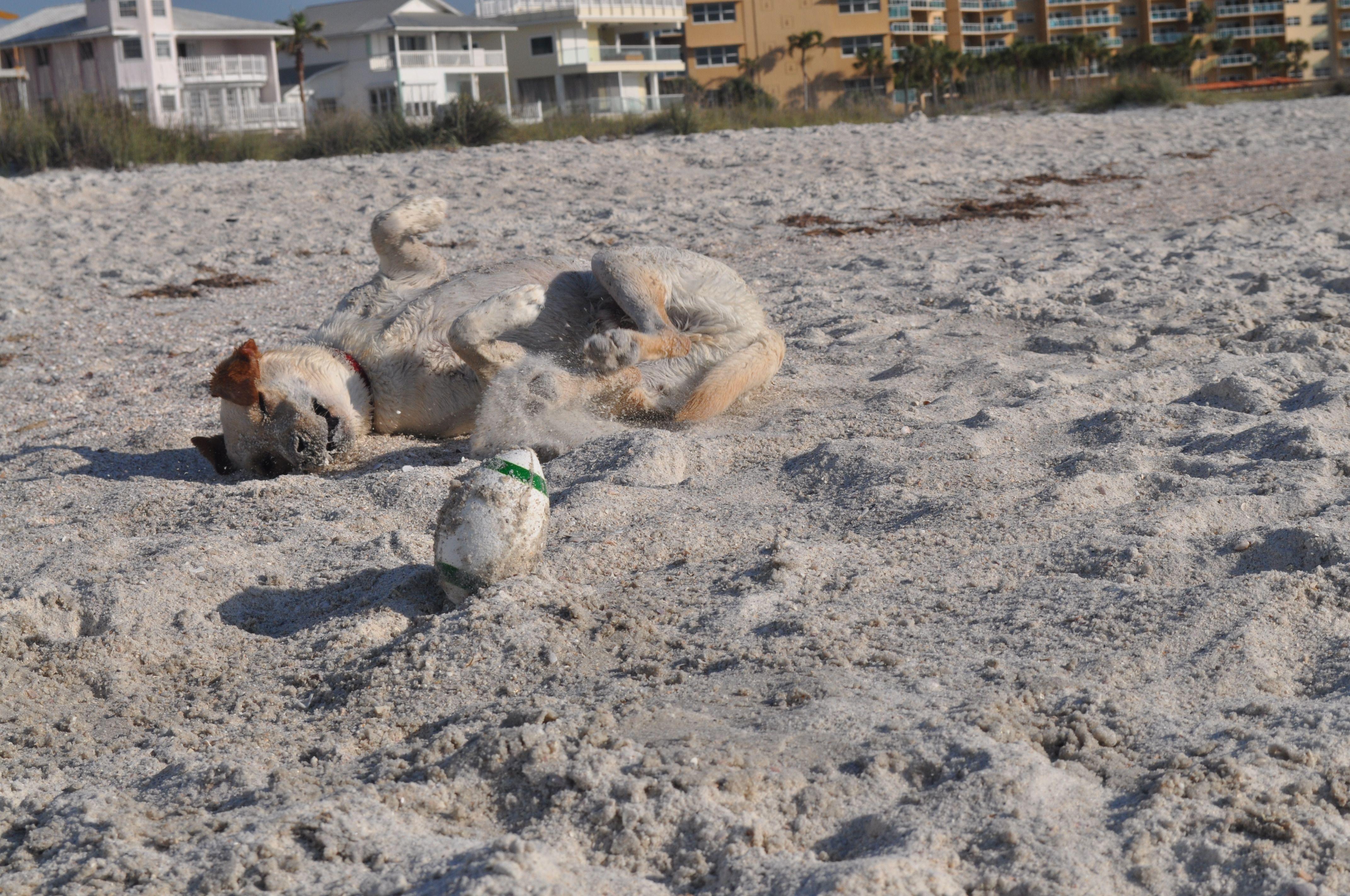 My beach bound hound aka Sugar cookie.  The more sand the better.