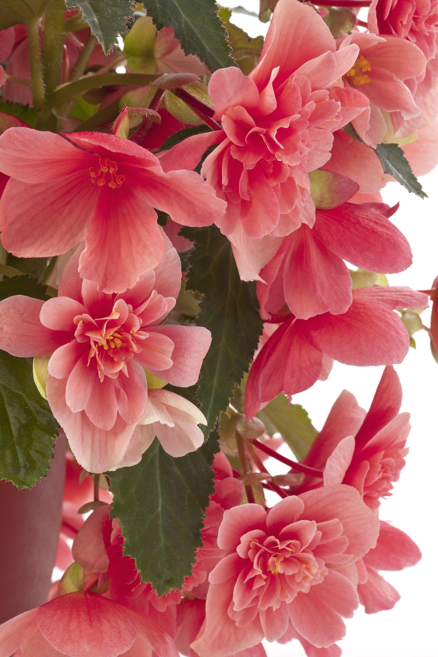 Begonia Waterfall Victoria Pink Photo Beekenkamp Beautiful Flowers Amazing Flowers Flowers