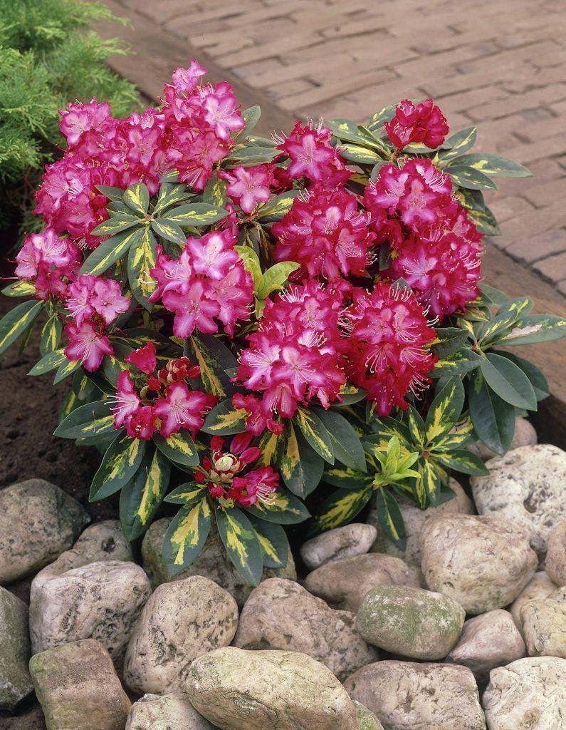 Rhododendron President Roosevelt 1 5 2 5m2 Season Plants Plants Rhododendron