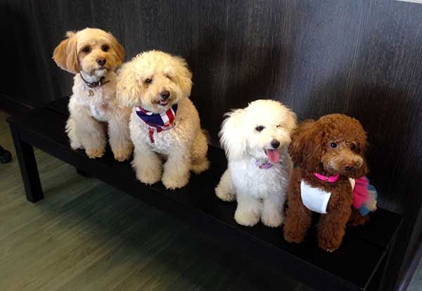 Singapore Oodle Outing Cavoodle Puppies Myoodle Dog Crossbreeds Poodle Cross Breeds