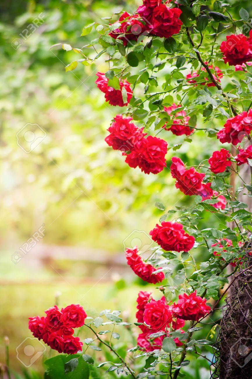 Marco De Rosas Naturales En El Jardin De Verano | Red
