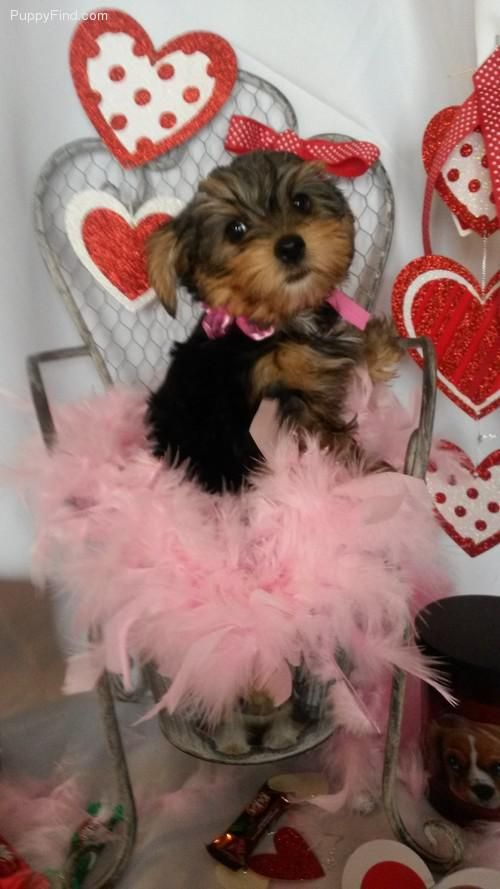 Teacup Yorkie Puppy For Sale In Indiana Teacup Yorkie Puppy Yorkie Puppy Teacup Puppies