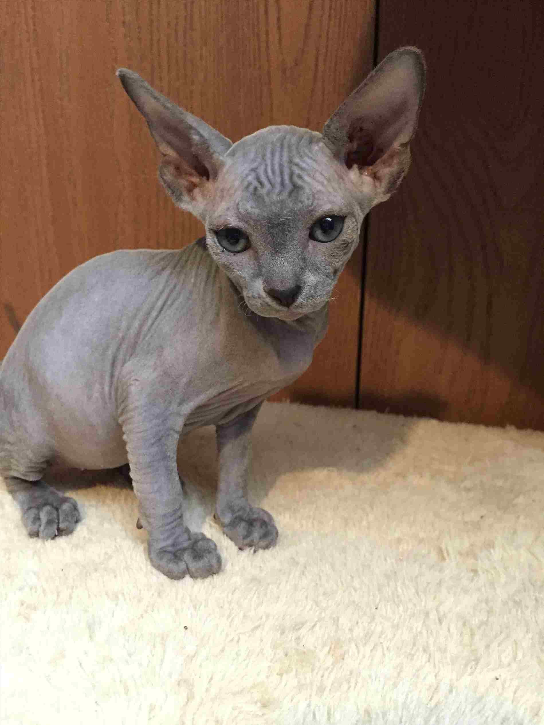 Hairless Cat Dr Evil Emanating All Kinds Of Sass She Has Been