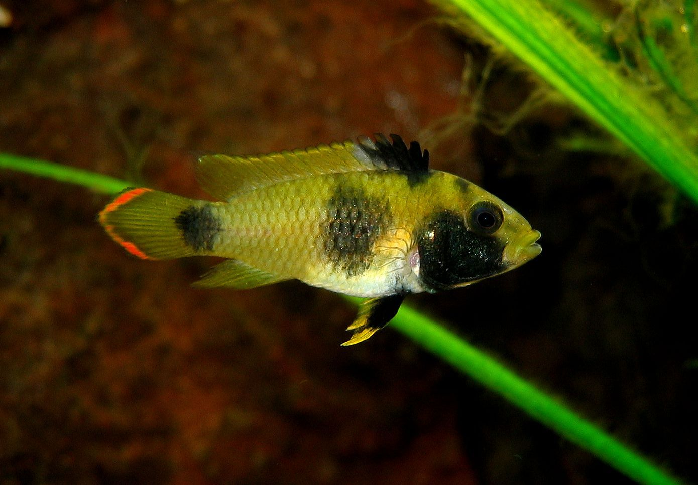 Freshwater aquarium fish mating - Dwarf Cichlid Female Apistogramma Nijsseni In Mating Colors For Classic South American Community Tropical Aquariumaquarium Fishtropical