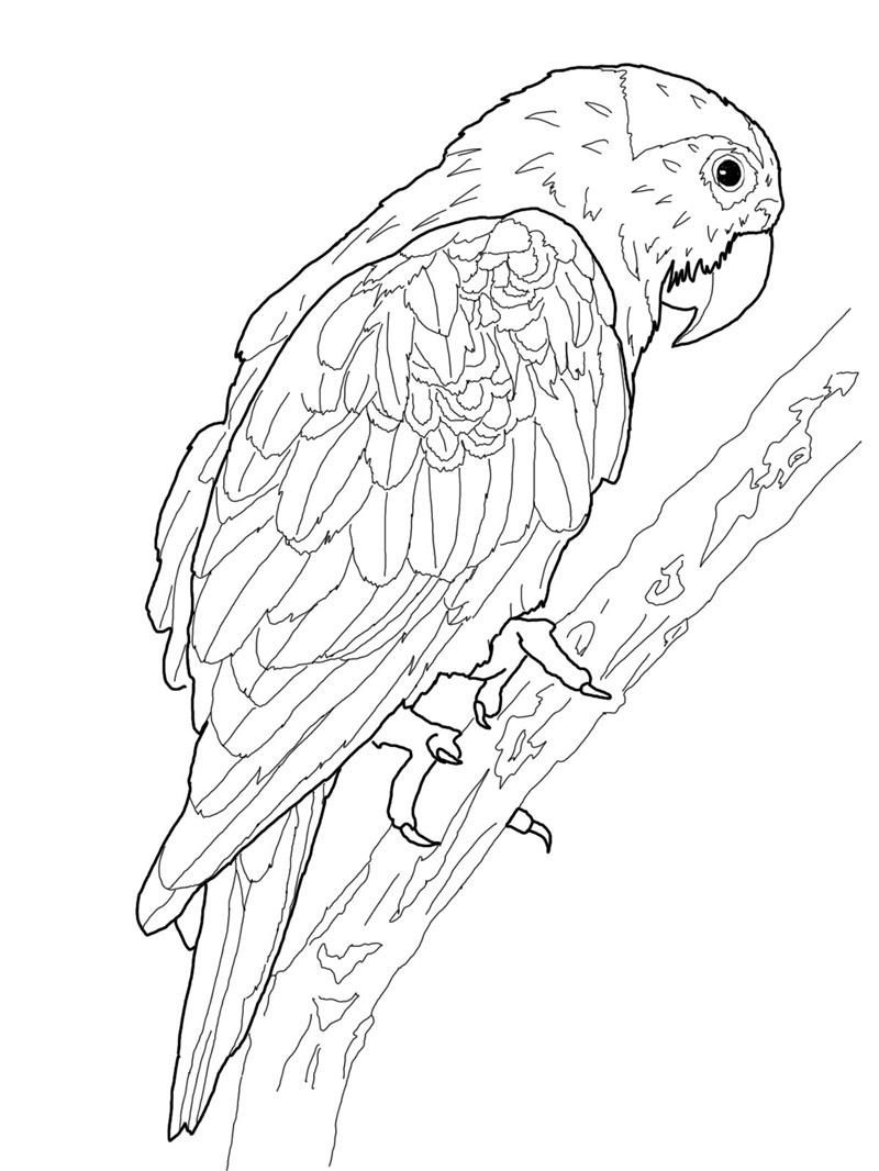 Free printable parrot coloring pages for kids ahhhhh for Coloring pages parrot