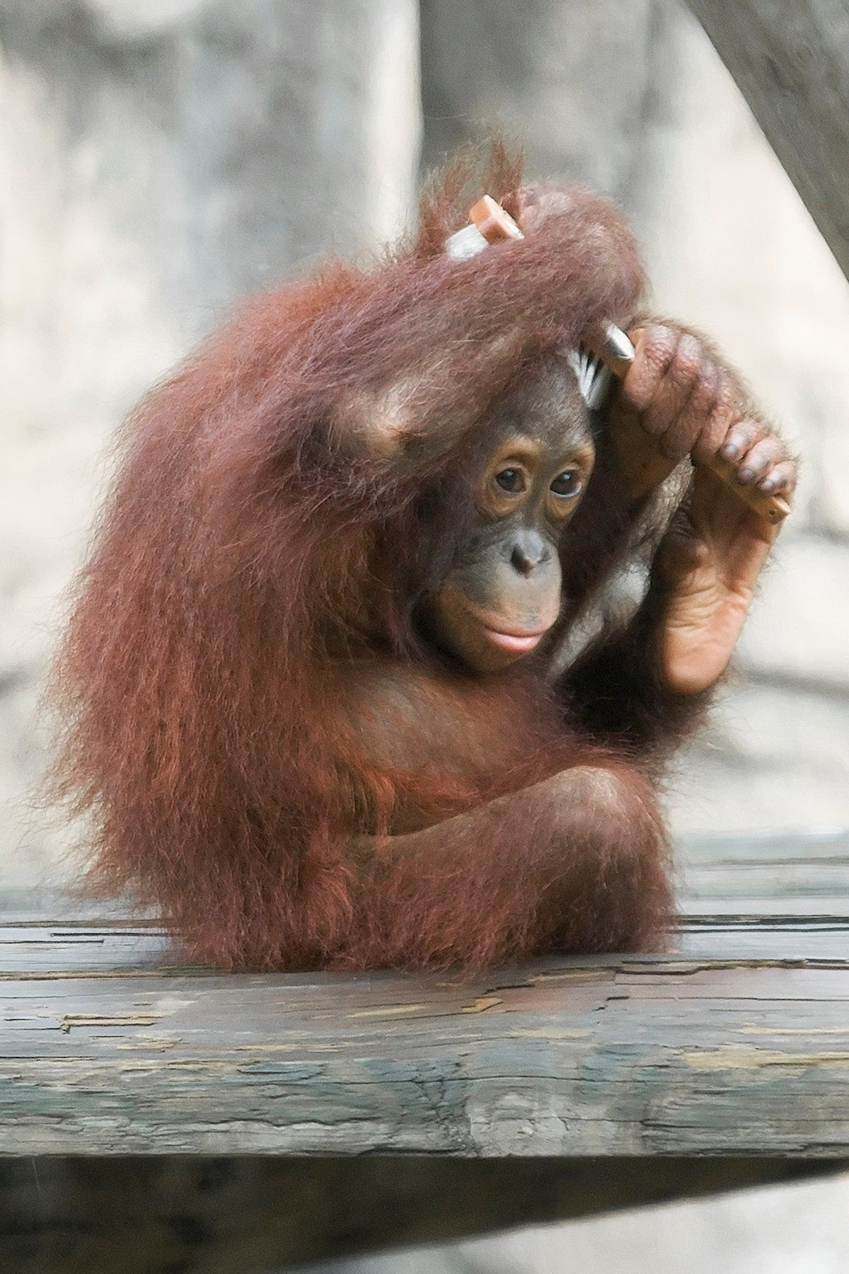Orangutan brushing her hair. Fast learners with many human
