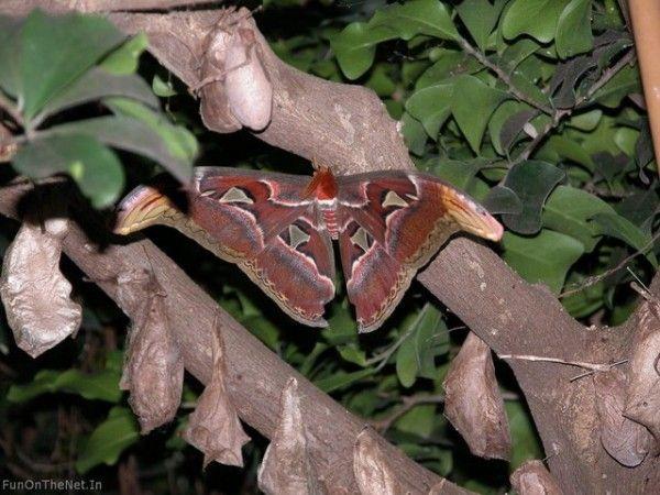 Bilder Von Der Atlas Motte Der Weltweit Atlas Moth Hercules Moth Largest Butterfly