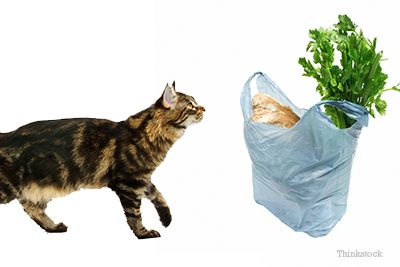 Why Does My Cat Chew Plastic Bags? Cats, Cat behavior, Pets