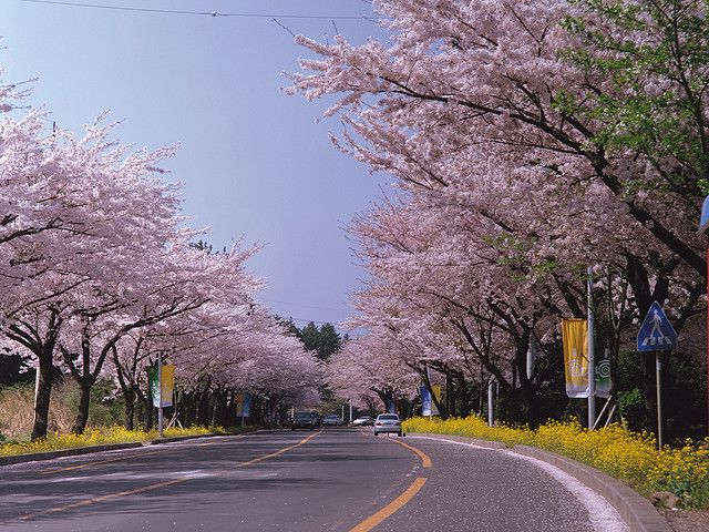 A Bicycle Ride Would Be Great Jeju Island Jeju Cherry Blossom Festival