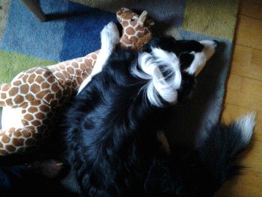Sjaak en giraf