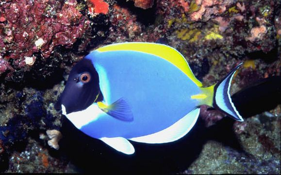 Image Of Acanthurus Leucosternon From Fishwise Professional Encyclopedia Of Life Peces Mar