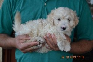Cute And Adorable Labradoodle Puppies Labradoodle Puppy Labradoodle Labradoodle For Sale