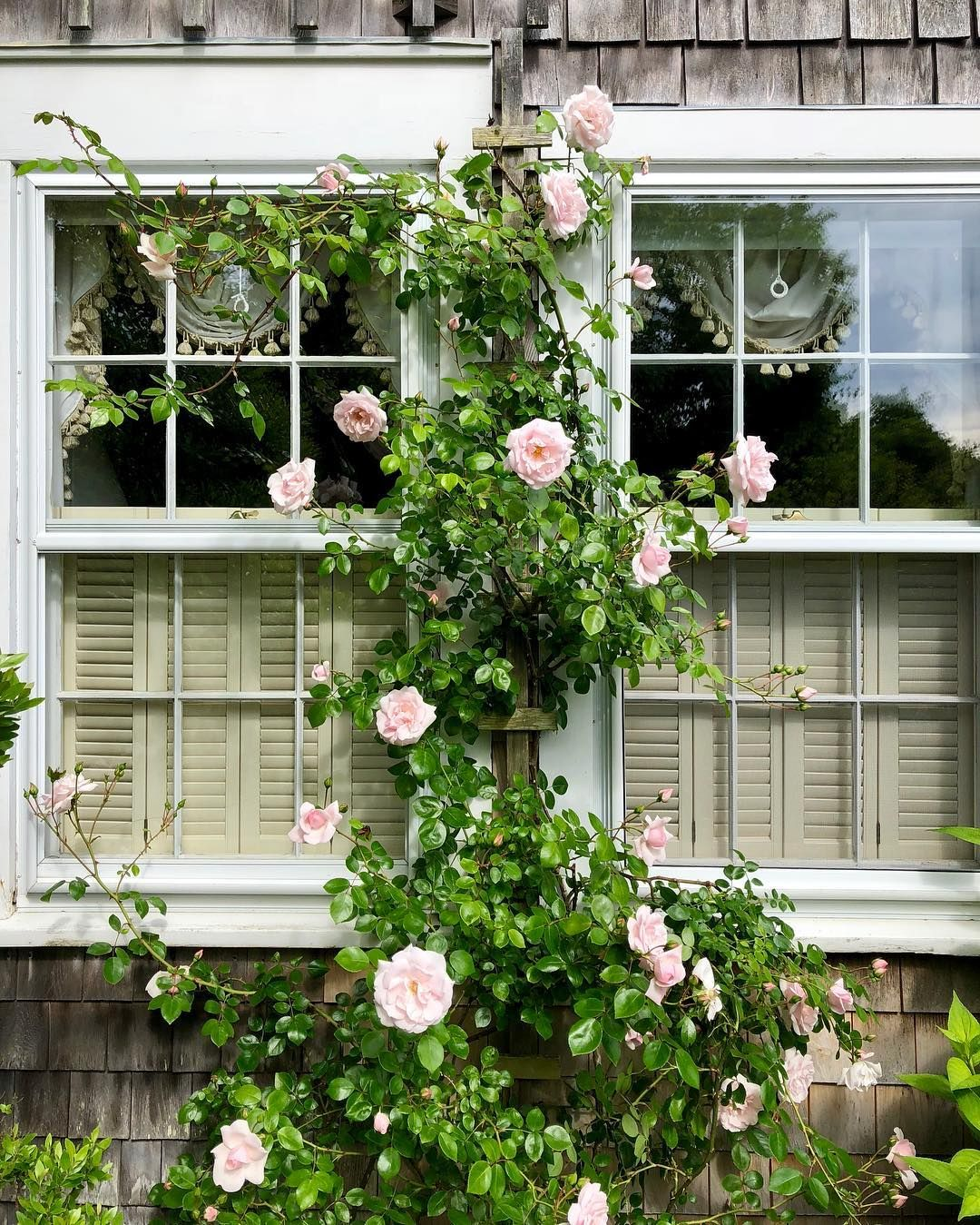 The roses are so late this year!! #nantucket # ...