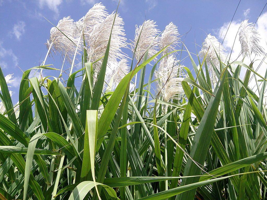 Sugarcane Flower วอลเปเปอร