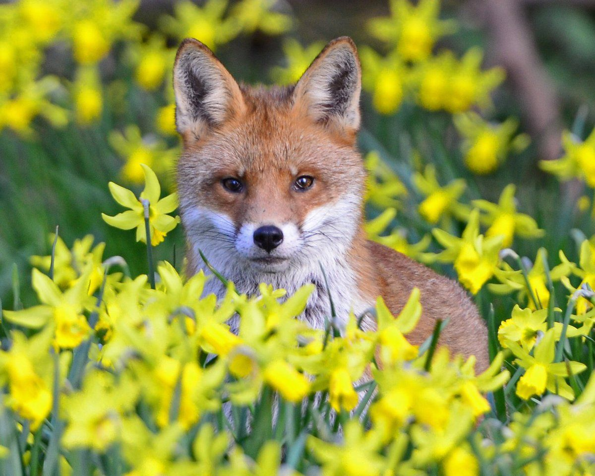 Spring Fox by Paul Thompson - L'Assommoir