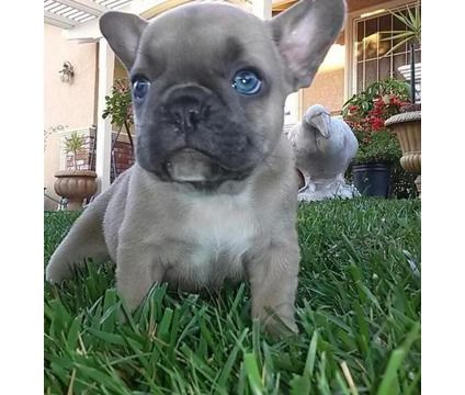 Are You One Of The Pug Lovers Or French Bulldog Lovers If You Do Then Our Online Store Is 1 With Images French Bulldog Puppies Bulldog Puppies French Bulldog Funny