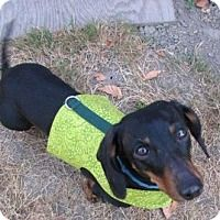 Our New Queen Of The Doxies At Oregon Dachshund Rescue Inc Is A