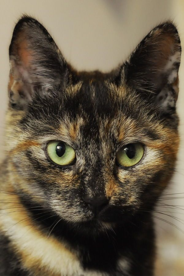 Tortoiseshell cat is a unique kitty which can only be born by chance. Did you know that? Learn everything about these beautiful kitties from their unique genetics to their personalities!