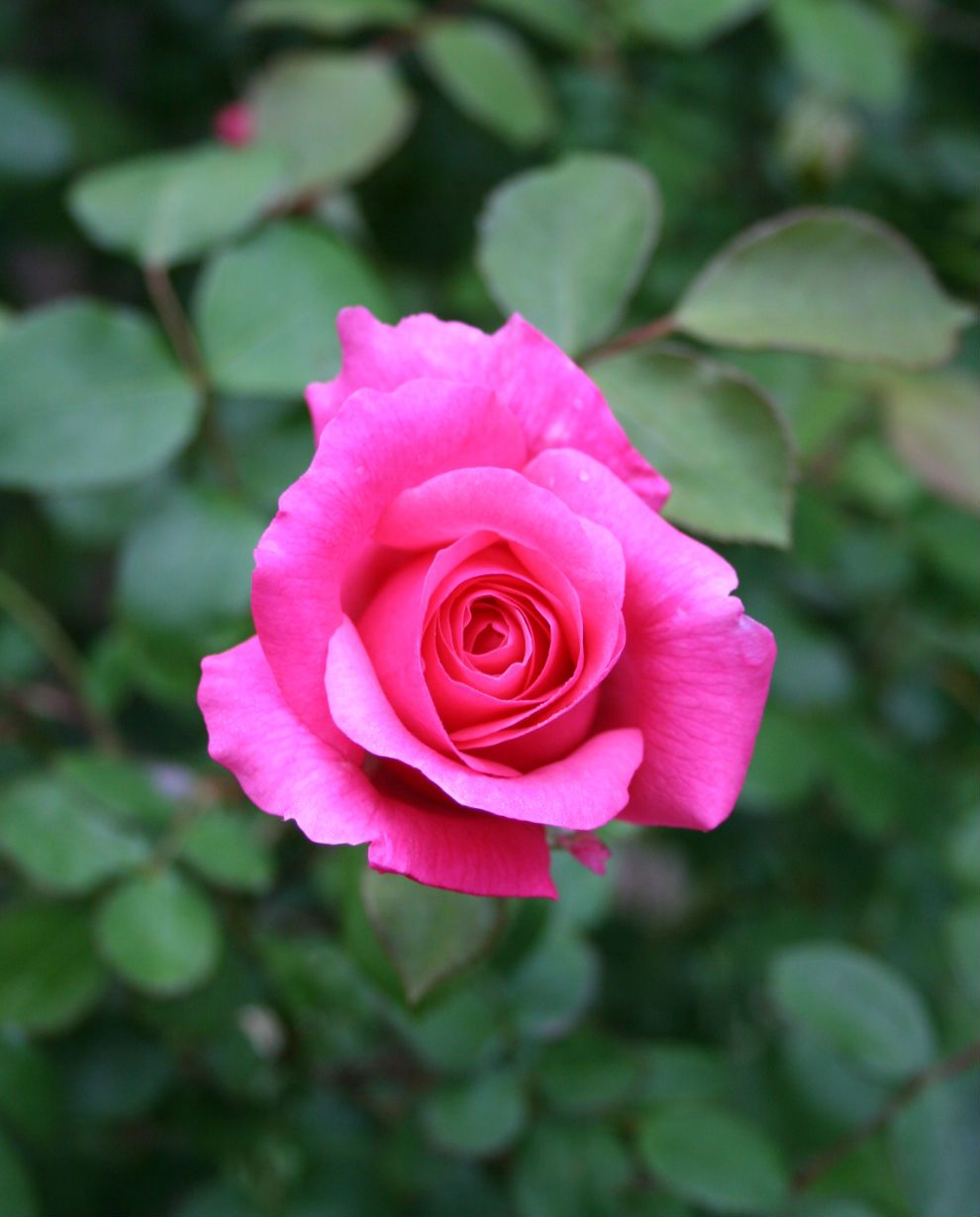 How to trim roses my latest article on pruning rose bushes roses