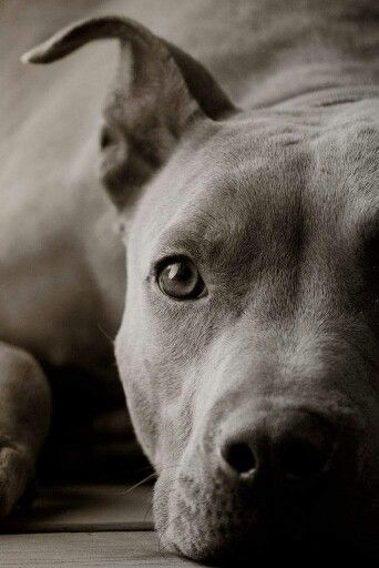 Stand Up For The Pit Bulls Its How They Are Raised Not How They