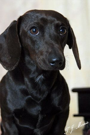 Solid Black Dapple Dachshund