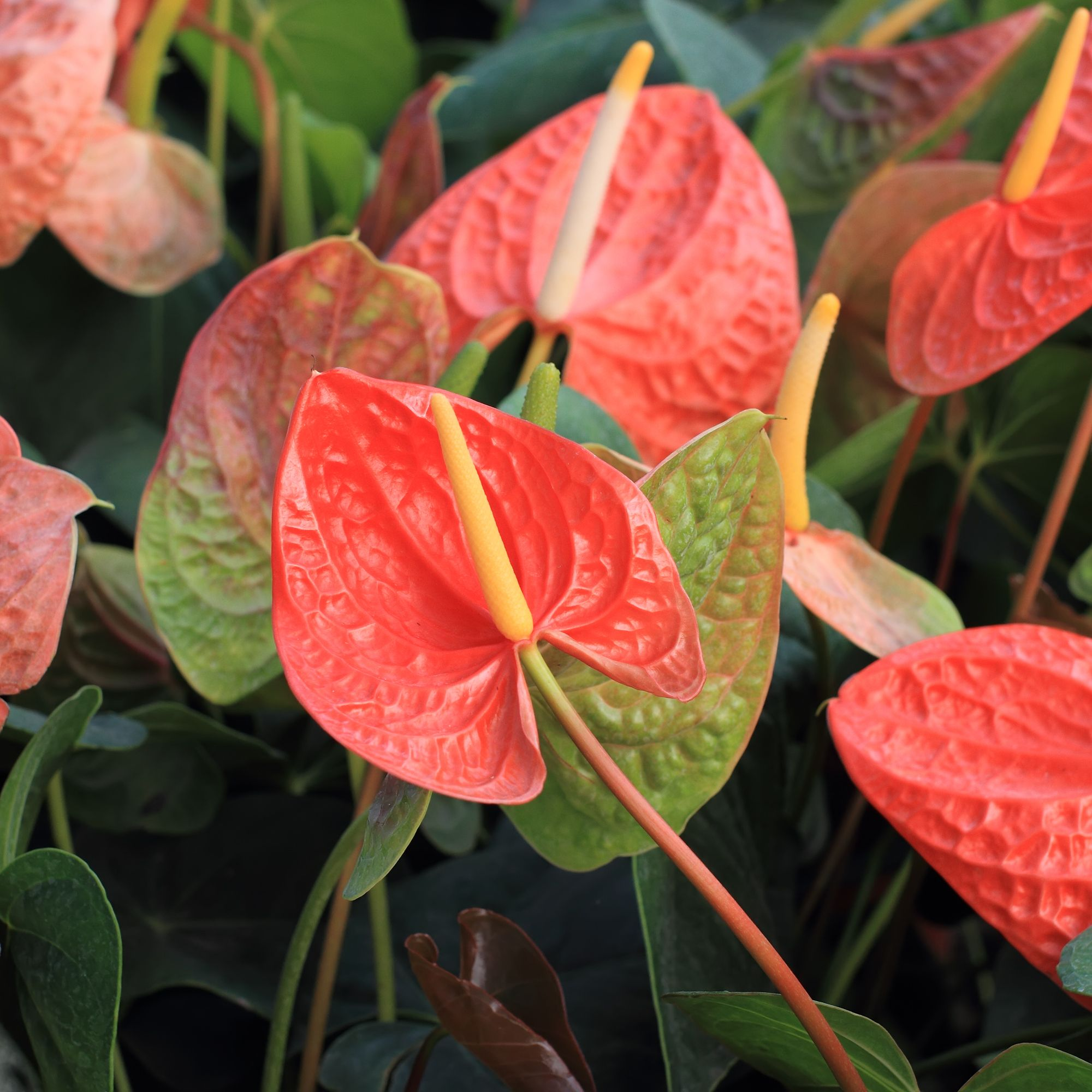 Anthurium Striking Glossy Green Elongated Heart Shaped Leaves With Red Pink Or White Shiny Heart Shaped Flowers Ma Evergreen Plants Anthurium Planting Herbs