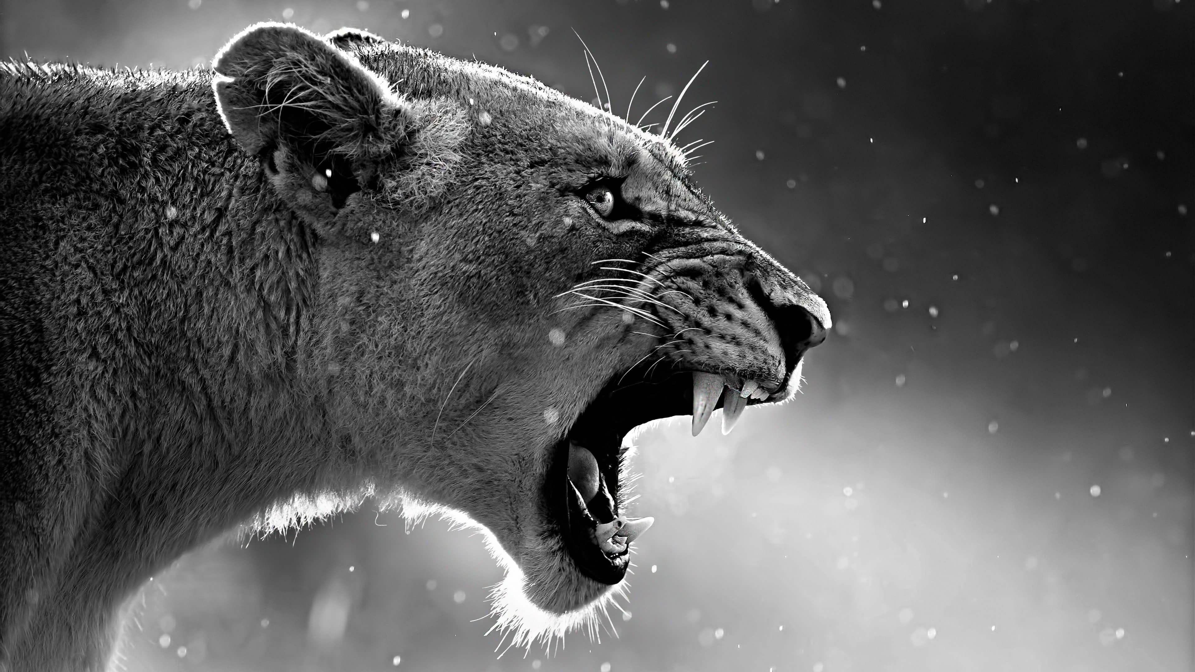 3840x2160 Lion 4k Wallpaper Pc Desktop Animals What Animal Are You Animal Wallpaper
