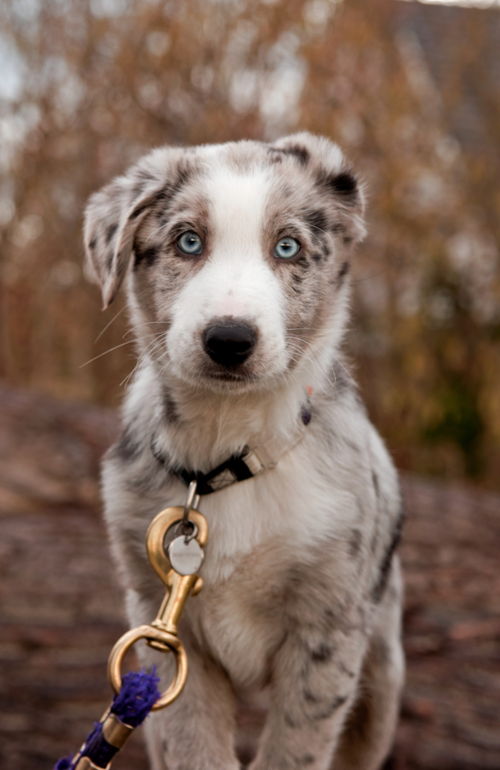Blue Merle Australian Shepherd Puppy Dogs Collie Dog Herding Dogs