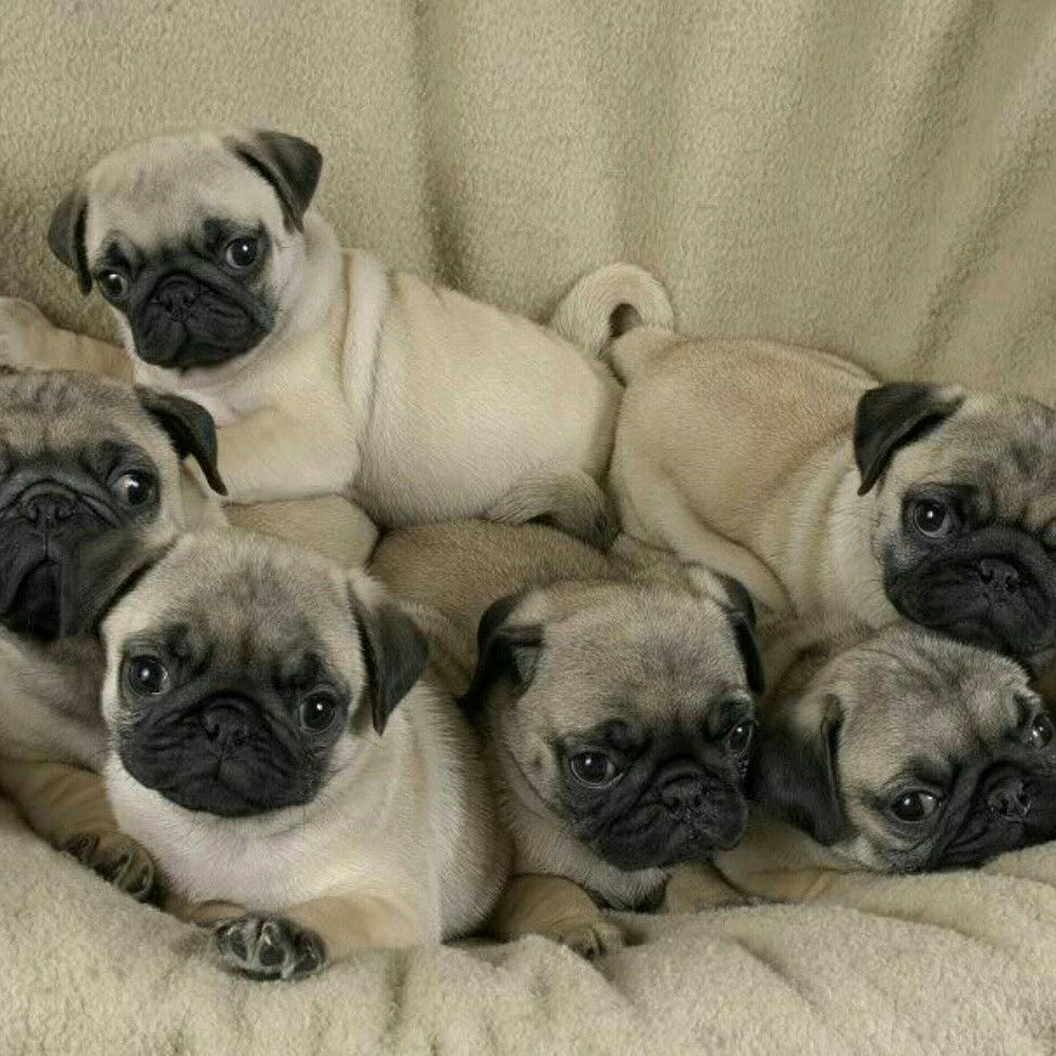 Pug Puppies For Sale, Long Island NY