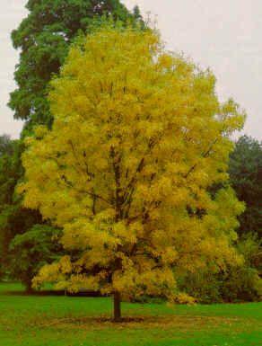El fresno americano arboles jardines arboles for Arboles de hoja perenne que crece rapido