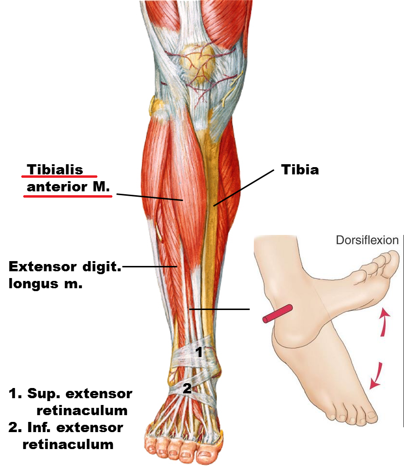 tibialis anterior muscle | triggerpunkt | pinterest | tags and muscle, Human Body