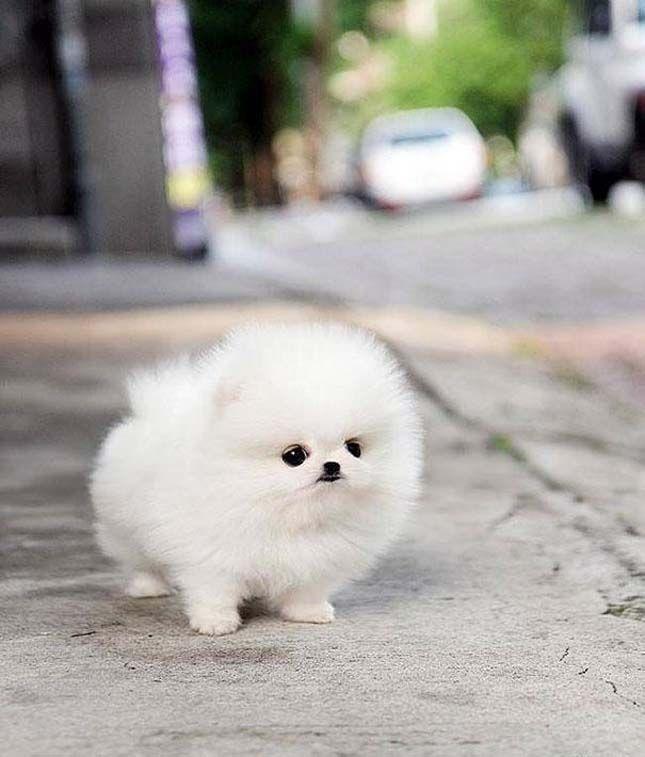 Baby Pomeranian Dogs For Sale Goldenacresdogs Com