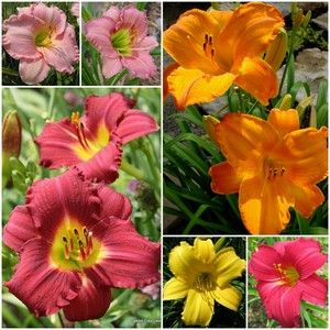 Oakes Daylilies Best Sellers Collection $34.95 for 6 varieties!