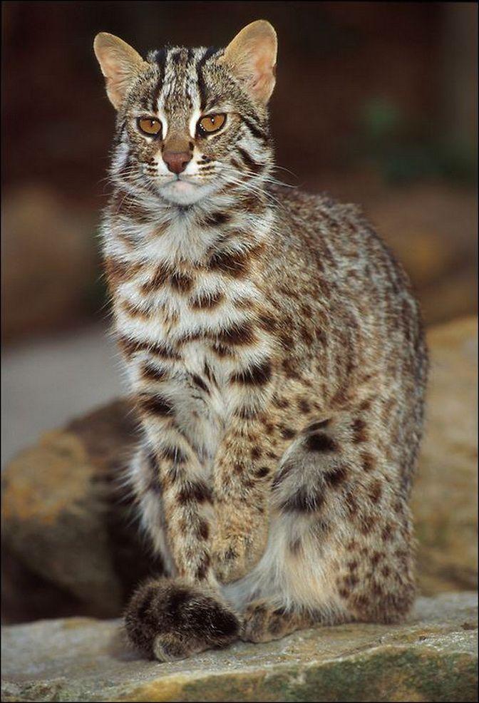 прошлой леопард кошка уссурийский фото необходимо отметить