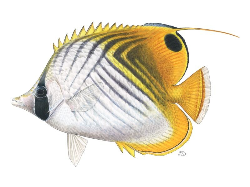 Threadfin Butterflyfish By Emily S Damstra On Artfully Walls Fish Painting Animal Art Butterfly Fish