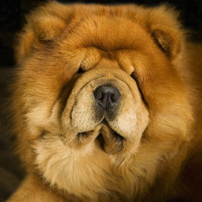 Chow Chow Chows Are The Only Breed With A Bluish Black Tongue