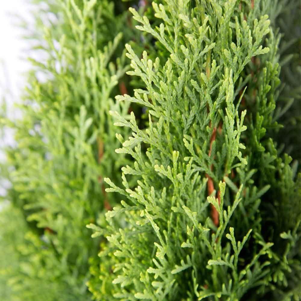 25 qt emerald green arborvitaethuja live evergreen