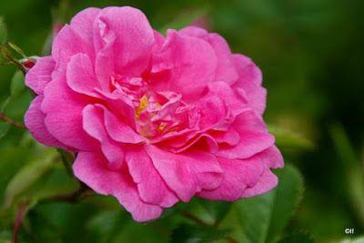 Morsingon pihalta: ruusut Suomalainen puistoruusu 'Ilo'