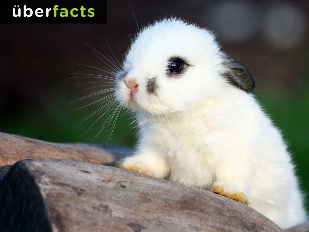 Uberfacts On Twitter Cute Animals Cute Baby Bunnies Baby Animals