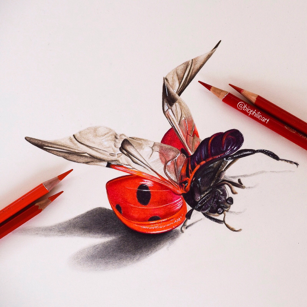 Picture Of A Ladybird Or Ladybug Drawn Using Coloured Pencil Colored Pencil Drawing Of A Ladybird Wildl Color Pencil Art Ladybird Drawing Pencil Art Drawings