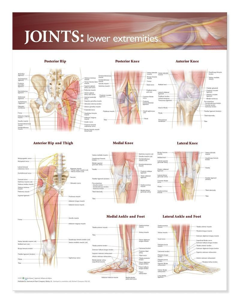 Joints Of The Lower Extremities Anatomical Chart | Pinterest | Chart ...